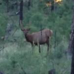 elk, deer, wildlife in Forest Lakes
